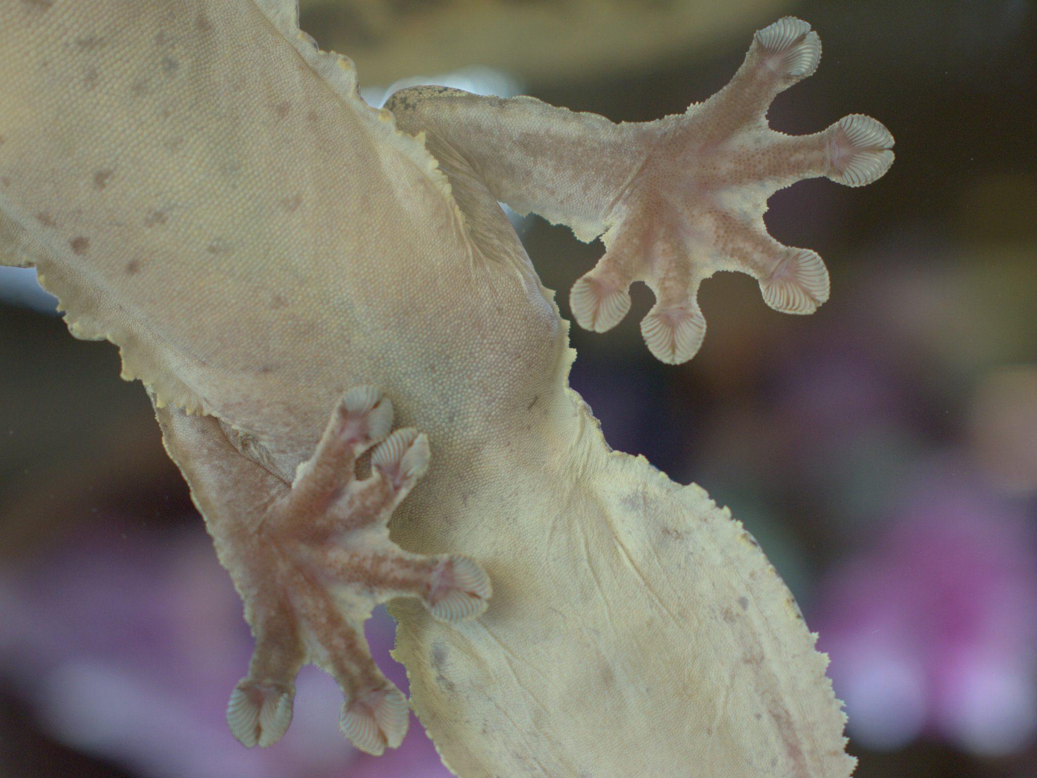 Der Plattschwanzgecko klebt meistens an der Scheibe. Guckt Euch mal die Haft-Füßchen an!