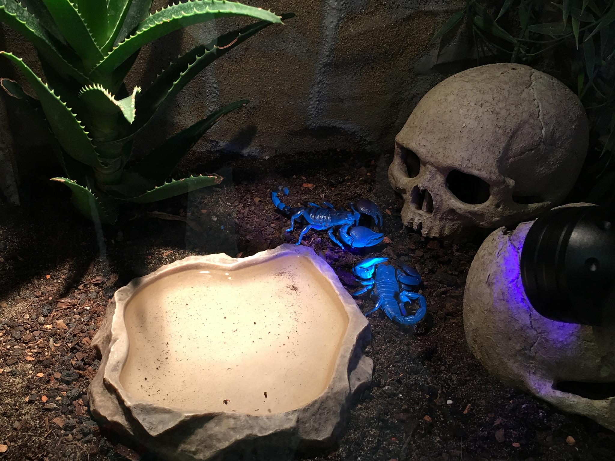Riesen-Skorpione unter UV-Licht