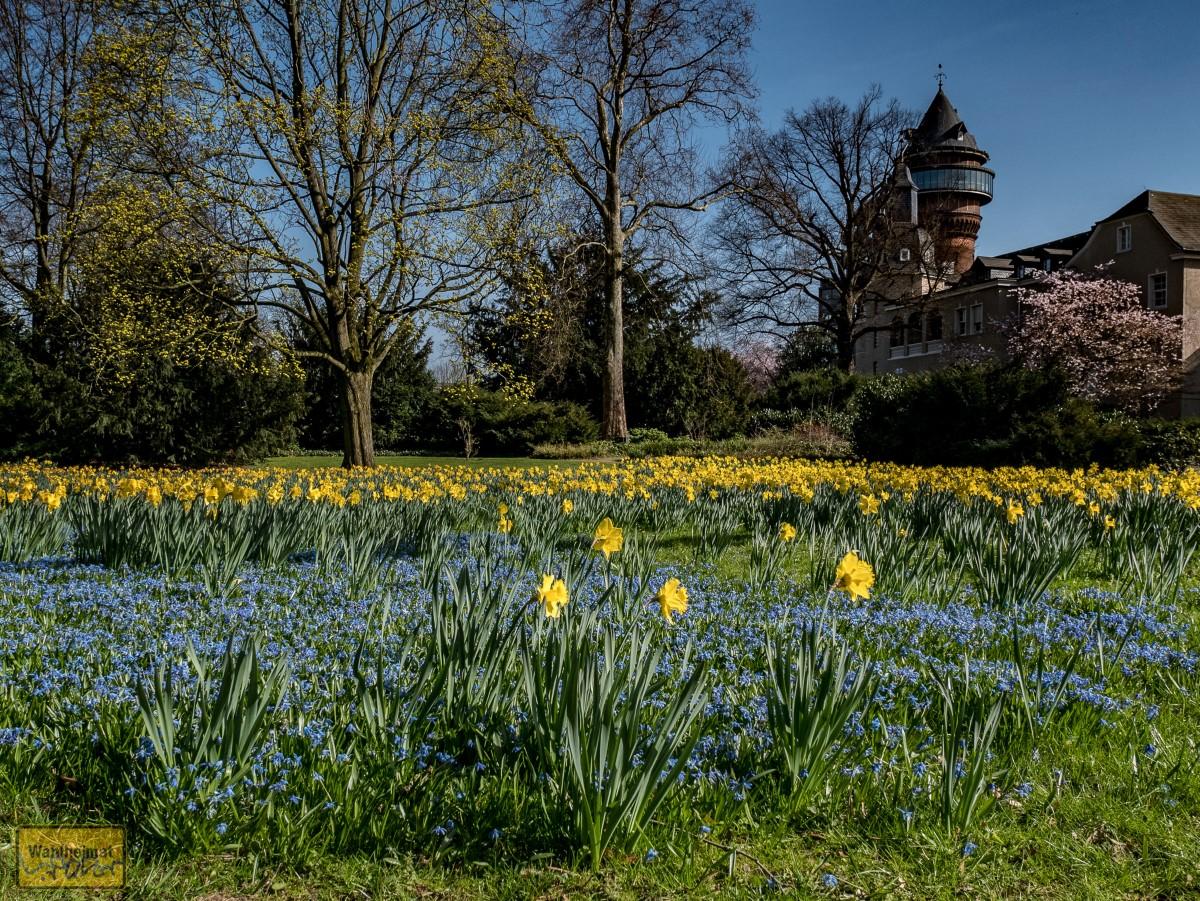In Styrum - vis-a-vis vom Aquarius Wassermuseum - blühen im Frühjahr blaue Scillas und gelbe Narzissen.