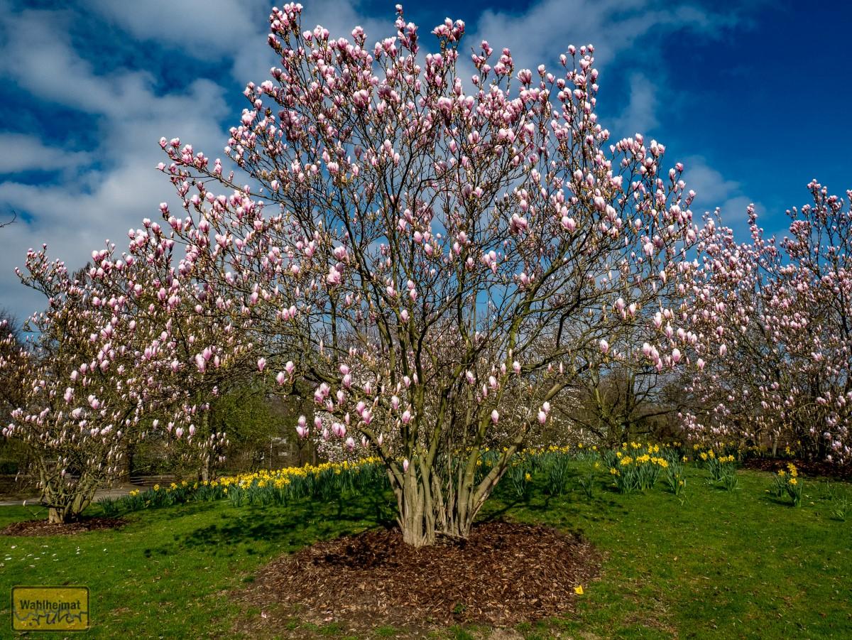 Magnolien und Narzissen haben die Blüten schön!