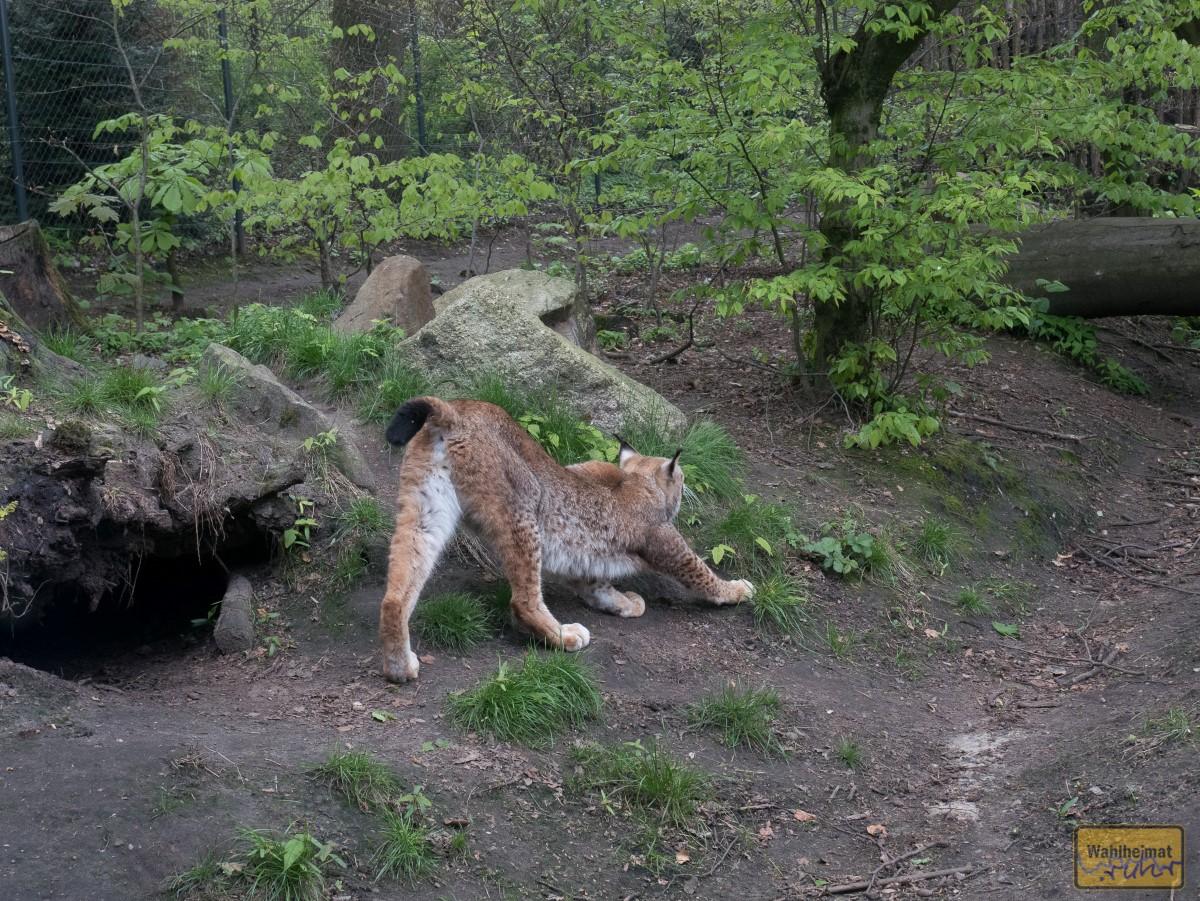 Erstmal strecken: es ist Lynx Lynx - ein Luchs.
