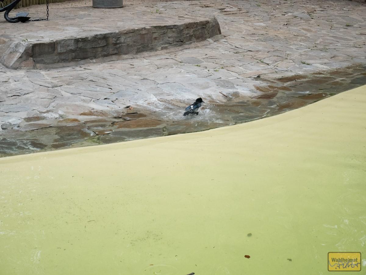 Die Elster hat da eigentlich nix zu suchen - nimmt aber mit respektvollem Abstand zu den Robben ihr abendliches Bad.