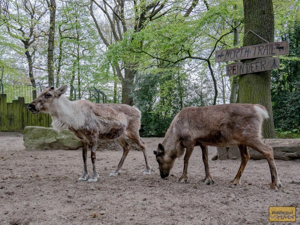 Und es darf auch zwischen den Tieren umhergangen werden. Gestreichelt werden wollen die Rentiere allerdings nicht.