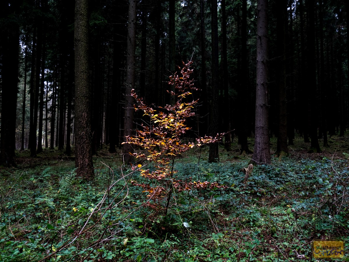 Der Herbst bringt wunderbare Farbtupfer in den dunklen Wald.