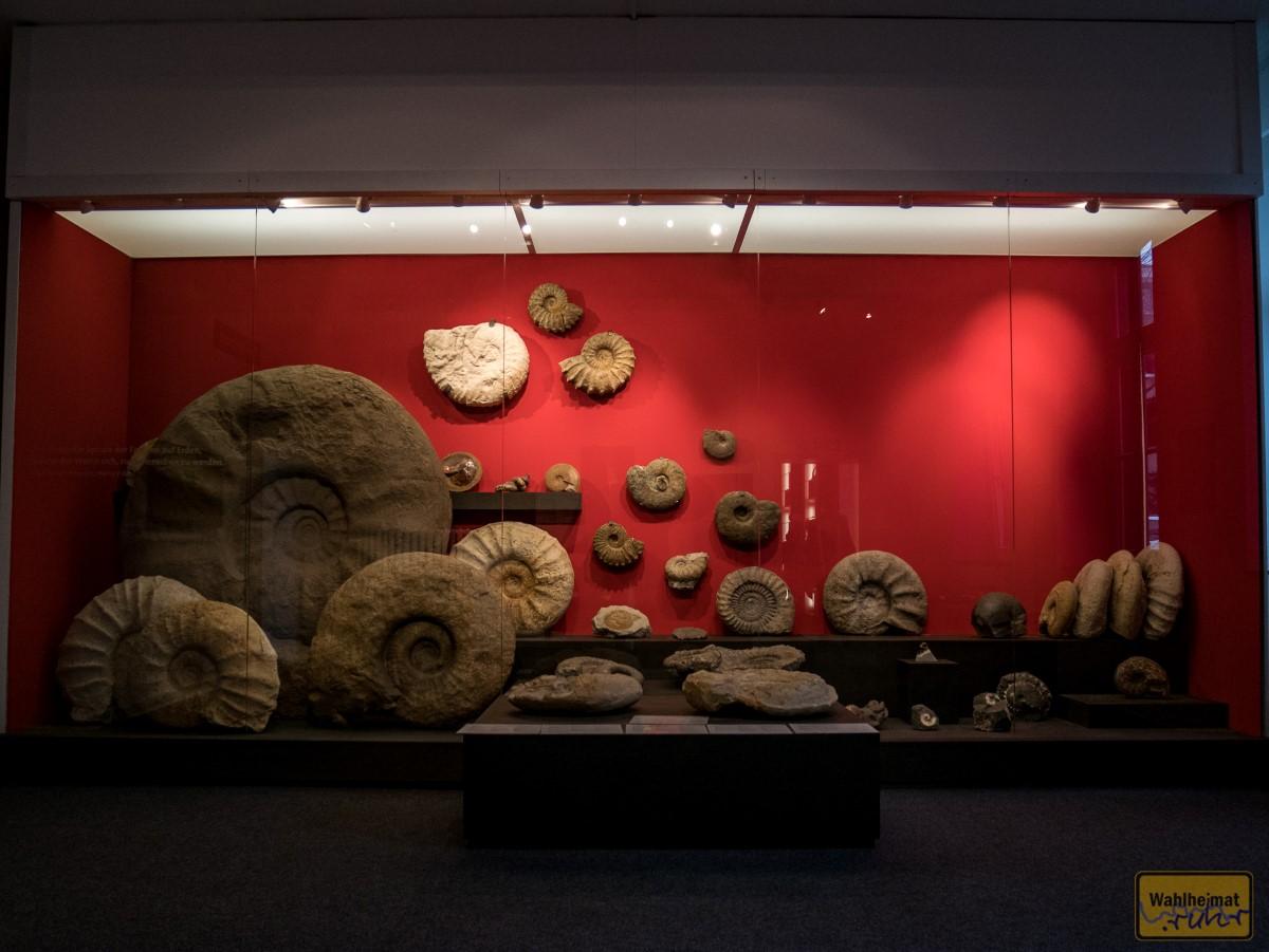 Eine unglaubliche Sammlung von Ammoniten - der da links ist ein Riesentrum von bestimmt gut zwei Meter Durchmesser!