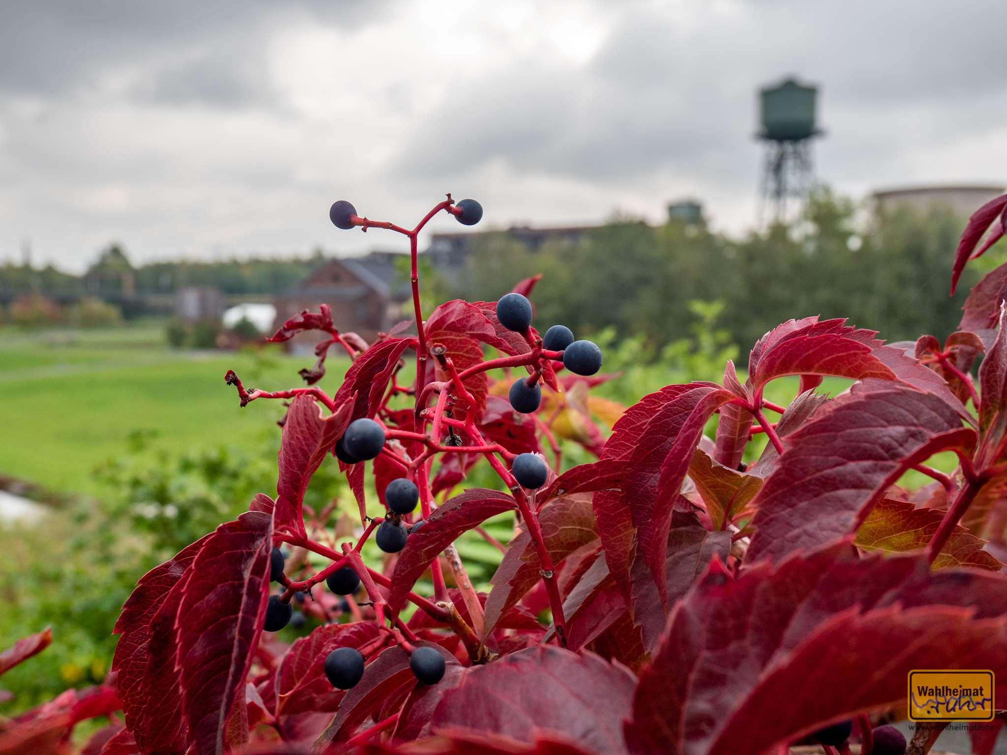 Westpark: wilder Wein windet wunderschön wegesnah.