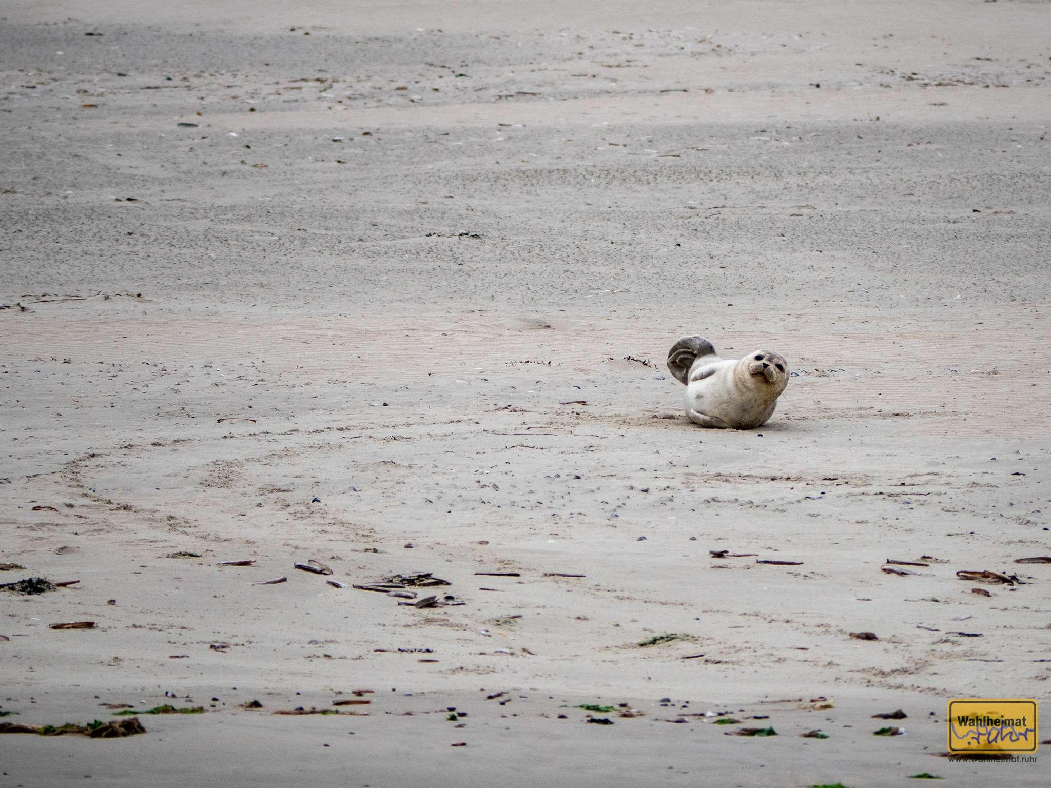 Süß! Der Nachwuchs bei den Seehunden guckt uns mit großen Augen hinterher.