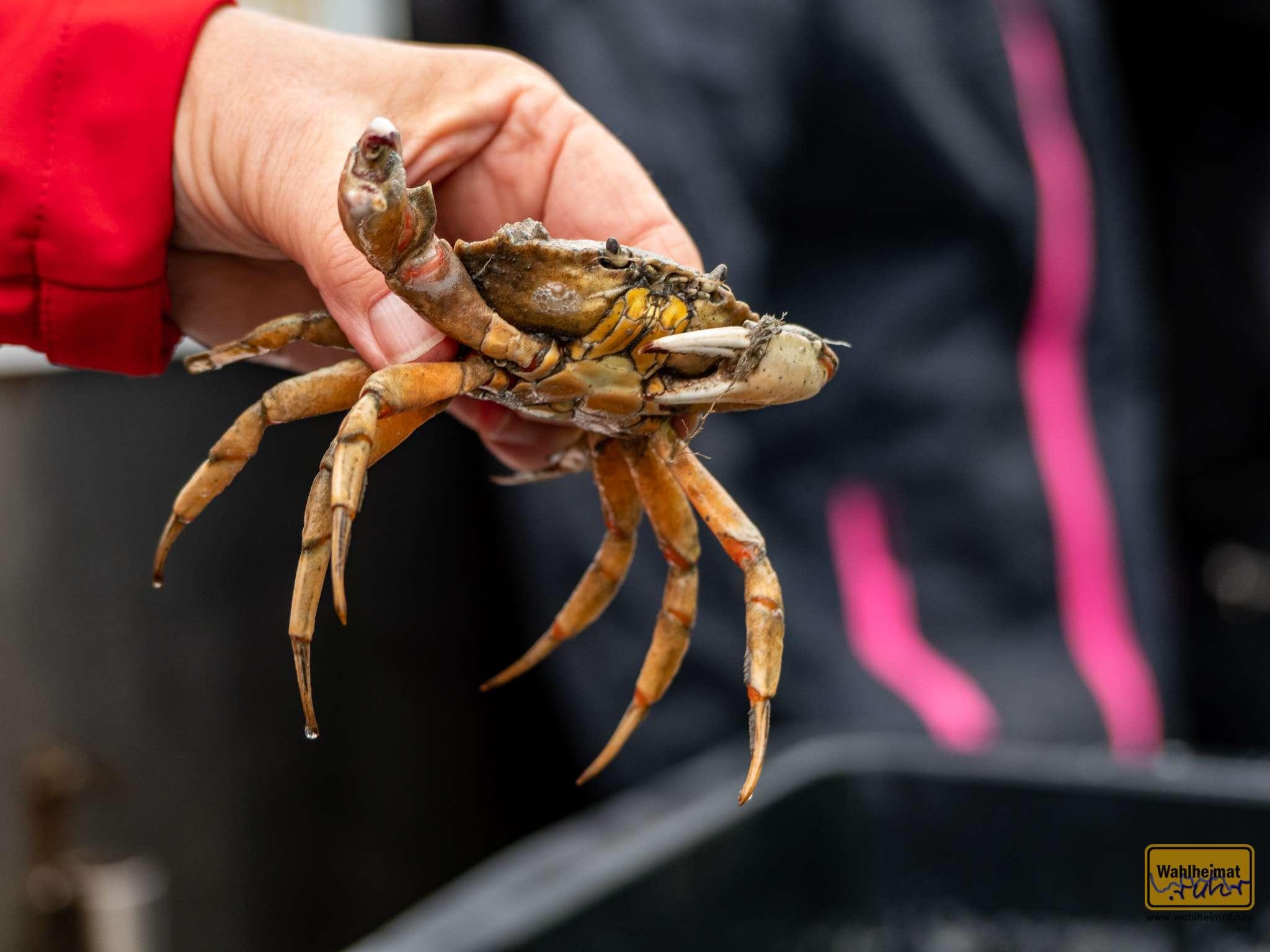 Hallo, I bims - eine Krabbe! Während der Fahrt erhält man Einblicke die Meereswelt. Nach einer kurzen Stippvisite an Bord geht es für die Meeresbewohner wieder zurück ins Wasser.