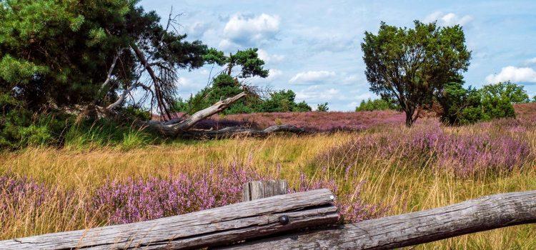 Haltern am See – die Westruper Heide blüht